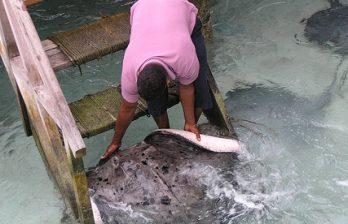 <!--:ru-->На Мальдивах огромные скаты едят прямо с рук (ВИДЕО)<!--:-->