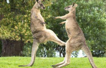 <!--:ru-->Забавная драка кенгуру прямо посреди улицы (ВИДЕО)<!--:-->
