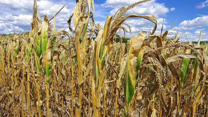 Засуха уничтожила часть урожая кукурузы и подсолнечника