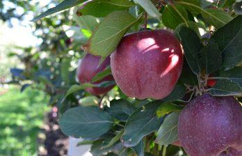 В этом году в Молдове выдался богатый урожай яблок