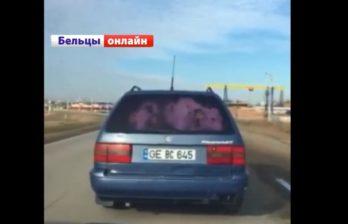 (ВИДЕО) Перевозить двух коров в машине - не проблема!