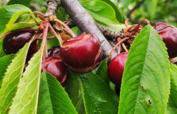 (ВИДЕО) Дожди практически уничтожили урожай ранней черешни на севере Молдовы