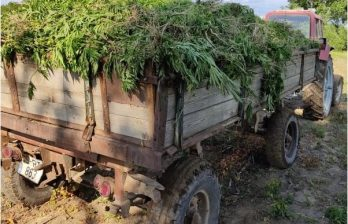 """""""Богатый урожай"""": в Каушанах обнаружено поле конопли площадью 2 гектара"""
