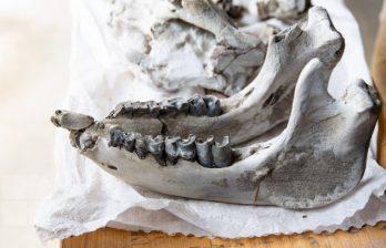 В Каларашском районе обнаружили останки доисторических носорогов (ФОТО)