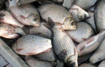 (ВИДЕО) Задержали контрабанду живой рыбы из Украины: таможенники изъяли товар в сто тысяч леев