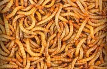 ЕС намерен производить гамбургеры, макаронные изделия, печенье и смузи из мучных червей